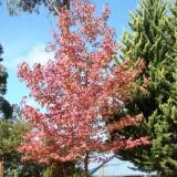 Autumn LIquidamber